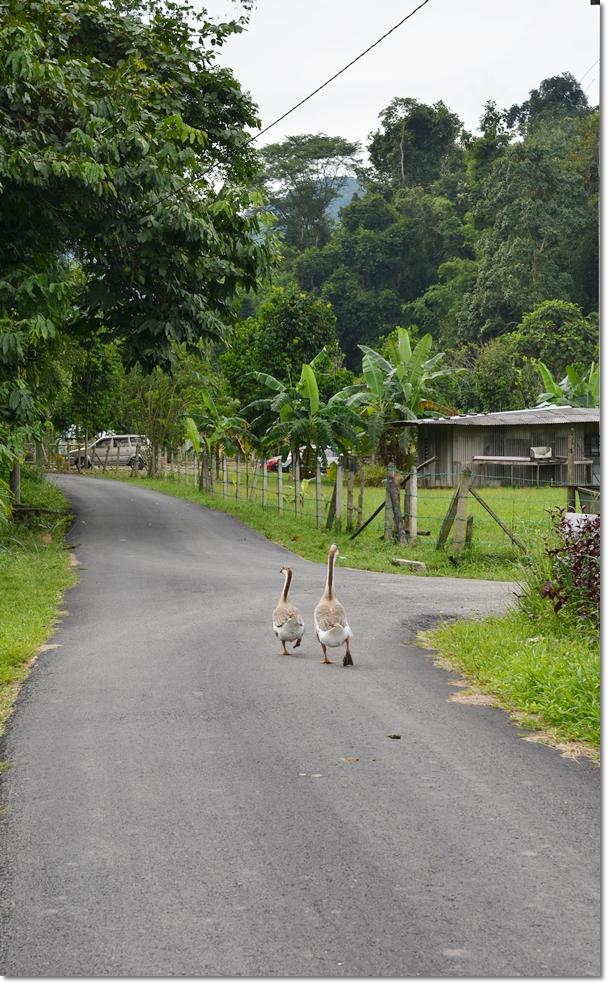 Geese Strolling