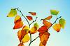 yay, fall! (slaskpelle) Tags: autumn sky fall nature leaves 35mm canon göteborg raw sweden gothenburg cyan handheld sverige f2 toned westcoast processed hisingen tonemapped jonaskarlsson 1000d canon1000d slaskpelle