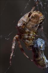 Dramatic hostage taking (Tascha303) Tags: detail macro nature canon germany eos spider web natur 100mm 7d nrw makroaufnahme spinne makro dsseldorf nordrheinwestfalen nahaufnahme 115 ringflash netz f20 2011 ef100mm ringblitz webspinne