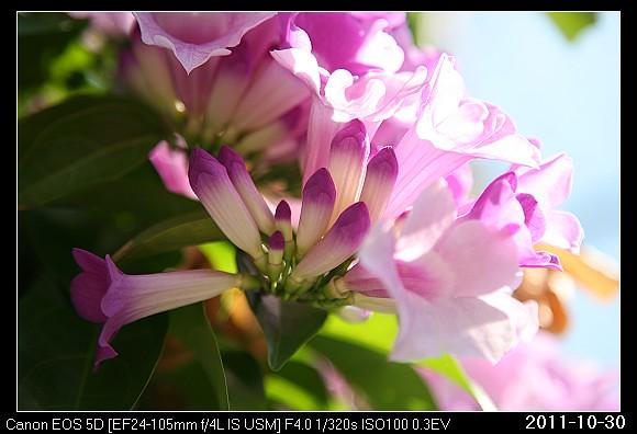 20111030F4蒜香藤