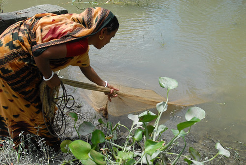 Woman pulling a fish net out of the water, Bangladesh. Photo by WorldFish, 2006