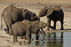 Families drink together (gerdavs) Tags: elephant olifant africanelephant loxodontaafricana