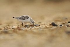 Sanderling [explored] (amylewis.lincs) Tags: uk england bird nature animal nikon britain wildlife norfolk sigma british calidrisalba 2011 d3000 150500mm