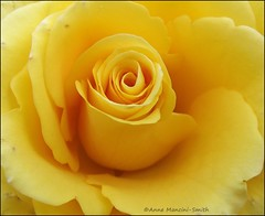Blooming Lovely! (Anne Mancini-Smith) Tags: colour rose yellow petals yellowrose bloom thebestyellow fujifilmfinepixs2950