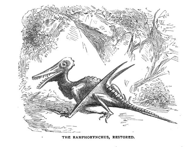 Rhamphorynchus