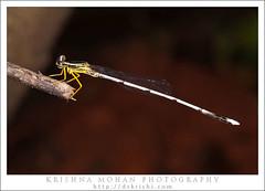 Yellow Bush Dart (drkrishi) Tags: india male asia dragonfly karnataka arthropoda mangalore odonata insecta zygoptera dakshinakannada whiteleggeddamselfly copera coperamarginipes yellowfeatherlegs platycnemididae krishnamohan bondel yellowbushdart drkrishi drkrishicom disparoneurabhatnagrisahni1965 platycnemislacteolaselys1863 platycnemismarginipesrambur1842 psilocnemisstriatipesselys1863