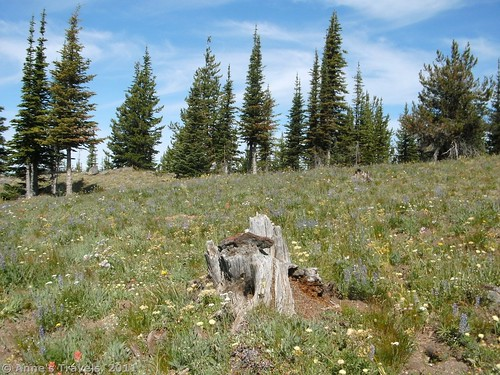 Wildflowers on Columbia Mountain Colville National Forest Washington