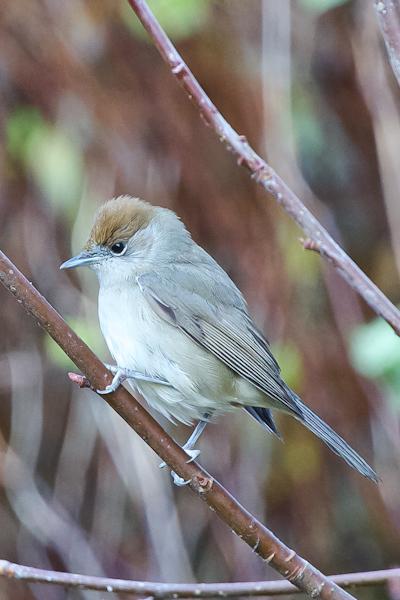 Blackcap - Sylvia atricapilla - Hettusöngvari (female)