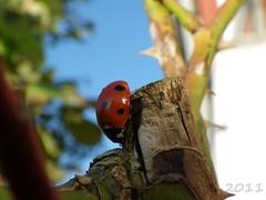 Ladybird (s1ng0) Tags: roses macro garden ladybird