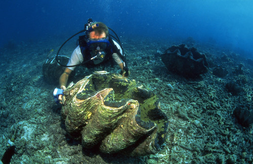 Cleaning giant clam broodstock, Solomon Islands. Photo by Mike McCoy, 2001