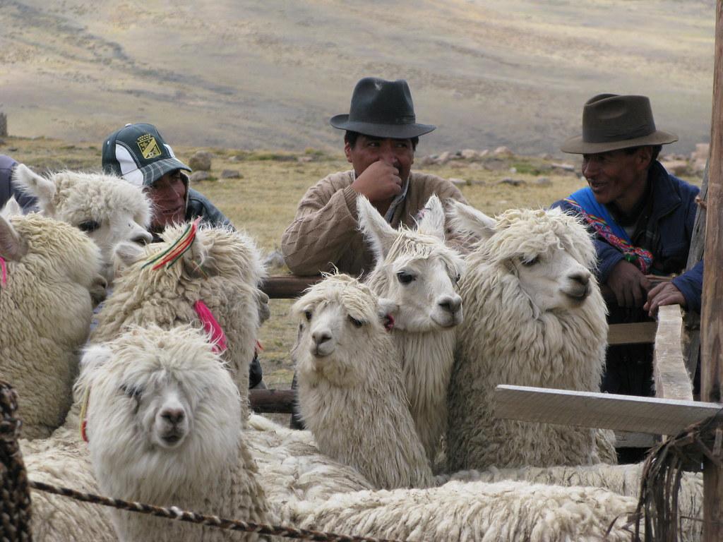 Gardiens d'alpaca