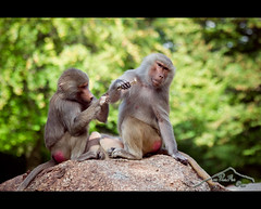 wellness for monkeys (mcPhotoArts) Tags: animal germany mnchen bayern deutschland bavaria monkey bokeh sommer jahreszeiten oberbayern location ape orte tier affen affe papiohamadryas pavian tierparkhellabrunn sugetier lebewesen primaten mantelpavian fotoeigenschaft