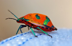Such pretty colours (Deb Jones1) Tags: red orange macro nature beauty canon insect outdoors 1 jones beetle bugs explore deb flickrduel