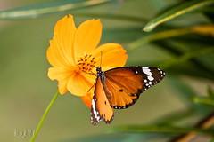 Nature.. (Mayabi) Tags: flower nature butterfly bangladesh rakhi chuadanga canon50d mayabi