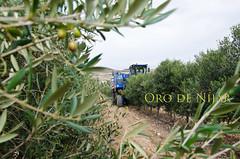 Entre olivos (Grupo Caparrs) Tags: espaa sol de cabo natural oil grupo oliva almeria parte oro aceituna prez fernn portocarrero caparros njar gatanijar