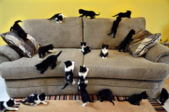 A Couch and Four Kittens (David Shield Photography) Tags: cats pets color home animals nikon babies play ben luke kittens dora kitties padme leia