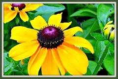 Sunny Flowers for Misty Days...!!!/ Coneflowers-Rudbeckia fulgida/