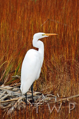 The Visitor (WanderWorks) Tags: autumn white canada black bird grass newfoundland labrador legs alba great ardea marsh egret greategret ardeaalba dsc4682fc2g2