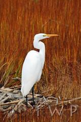 The Visitor (WanderWorks) Tags: autumn white canada black bird grass newfoundland labrador legs alba great ardea marsh egret greategret ardeaalba dsc4682fc2g2