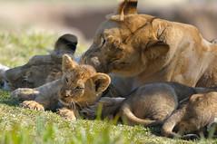Lionesses & cub at Wild Animal Park in Escondido-25 2-12-08