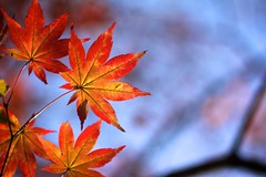 From the 2011 Fall Collection (jasohill) Tags: autumn red fall leaves yellow japan season japanese bokeh iwate backgrounds 日本 紅葉 秋 岩手県 風景 matsuo appi hachimantai 2011 季節 canonef100mmf28macrousm jasohill musictomyeyeslevel1