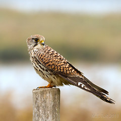 Torenvalk / Common kestrel / Turmvalke / Falco tinnunculus (Marcel Tuit) Tags: holland bird me nature canon eos wildlife nederland thenetherlands natuur 7d birdofprey vogel biesbosch falcotinnunculus torenvalk commonkestrel roofvogel nationaalpark sigma150500 marceltuit turmvalke