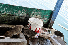 Tongging - Stray Cats Looking for Leftovers (Drriss & Marrionn) Tags: travel cats nature sumatra indonesia landscape rainforest southeastasia jungle tropics laketoba volcaniclake tongging