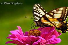 Tiger Swallowtail on Zinnia (travelphotographer2003) Tags: yellow butterfly insect purple bright feeding blossom nectar asteraceae proboscis tigerswallowtail pollinating mexicansunflower papilioglaucus beautyinnature brilliantcolor zinniablossom tinsectfeeding