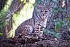 Bob (Jeff D. Muth) Tags: cat bobcat ojai lynx lynxrufuscalifornicus