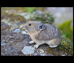 Pika (these are only words) Tags: wild canada cute nature rock dinner fur mammal rocks eating alberta tiny pika therockies thecanadianrockies theseareonlywords