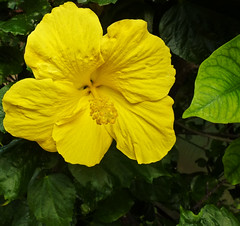 "The colour of O'ahu (missnoma) Tags: travel usa holiday flower nature yellow hawaii golden oahu hibiscus bloom honolulu malvaceae fiori blum excellentsflowers natureselegantshots mamasbloomers theoriginalgoldseal ""exoticimage"" pinnaclephotography bloomscontinuously"