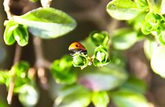 Underneath a ladybird (sunny_hels) Tags: red black mini bum hedge ladybird ks1 beasts blackspots minibeast keystage1