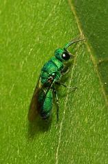 Cuckoo Wasp (Praestochrysis sp., Chrysididae) (John Horstman (itchydogimages, SINOBUG)) Tags: china macro green insect wasp iridescent yunnan cuckoo hymenoptera chrysididae itchydogimages sinobug