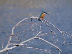 Common Kingfisher (Polotaro) Tags: bird nature pen olympus kingfisher  zuiko ep1       fzuiko300mmf45