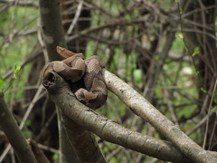 (22) Copperhead (gabbymilleryeah) Tags: copperhead