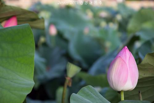 20110620白河蓮花季-5583