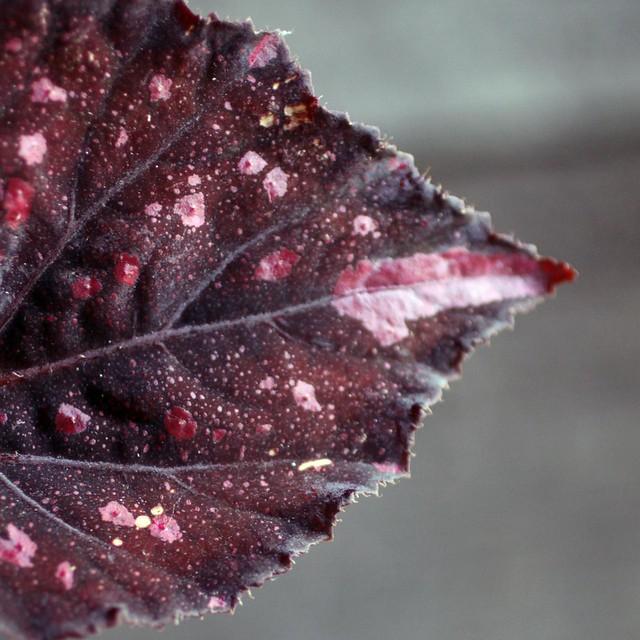 begonia_leaf