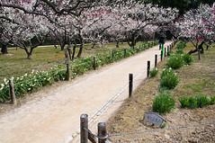 _ROW8985 (Alex Rowan) Tags: plants flower alex japan asia rowan okayama plumblossom korakuen  okayamacity  alexrowanphotography