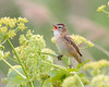 Son of Sledgy (Andrew Haynes Wildlife Images) Tags: nature song wildlife norfolk sedgewarbler cleymarsh canon7d ajh2008