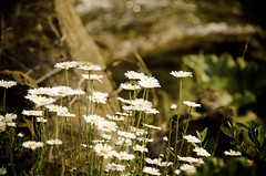 Jewels in the Forest (Truebritgal) Tags: ohio wild white flower nature yellow daisies nikon dof bokeh daisy wildflowers nikkor 18200mm d7000 truebritgal