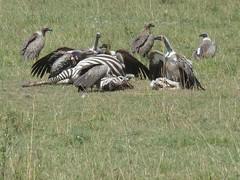 Carcass and vultures, Masai Mara (Carlos Affonso) Tags: africa kenya safari masai maasai savanna masaimara maasaimara savana qunia
