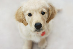 10 Weeks (Lou Bert) Tags: dog cute goldenretriever puppy golden puppies martha 10 retriever weeks tenweeks