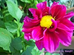 DAHLIA HYBRID ดอกรักเร่