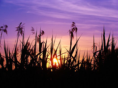 Sunset im Rheindelta (Ssusanne) Tags: sunset sky reed silhouette austria evening abend sterreich sonnenuntergang hard himmel schilf vorarlberg flickraward rheindelta