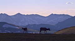Elk at Trail Ridge (Paul Gana) Tags: mountains nature evening colorado wildlife alpine elk rugged