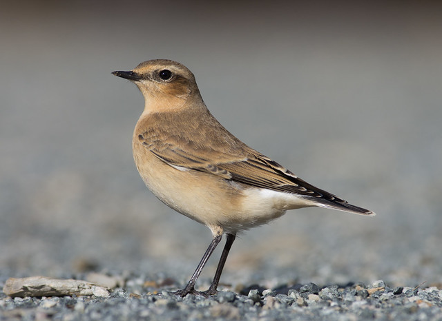 wheatear 300mm 3