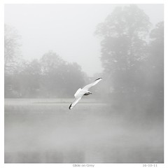 _MG_6691R Glide on Grey, Enlightenshade, Jon Perry, 16-10-11 (Enlightenshade - Jon Perry) Tags: london fog grey fly seagull gull flight chiswick w4 glide strandonthegreen 20011016 jonperry 161011 enlightenshade youmustrememberthis~p1c1