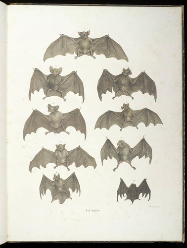 Bats by Smithsonian Libraries