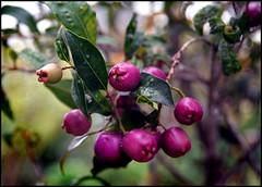Brush Cherries (emeraldsrain) Tags: tree cherry holding cherries hand magenta brush delicious bunch huge shrub