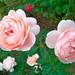 アンブリッジ ローズ(Ambridge Rose)